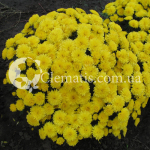 Axima Yellow
