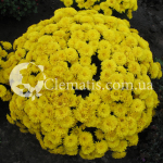 BRANROYAL YELLOW